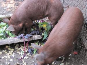 Отравление соланином у животных