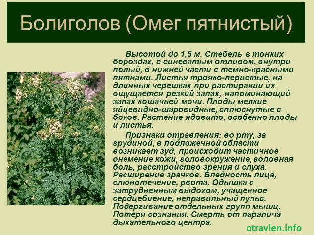 болиголов - про растение