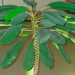 Цветок диффенбахия - ядовитый или нет