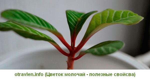 цветок молочай - полезные свойства