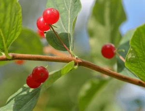 Отравление волчьей ягодой