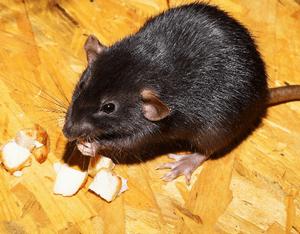 Отравление свиней от крысиного яда