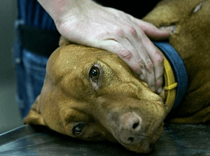 Сальмонеллез у собак