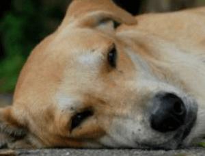 Признаки и симптомы отравления крысиным ядом у собак
