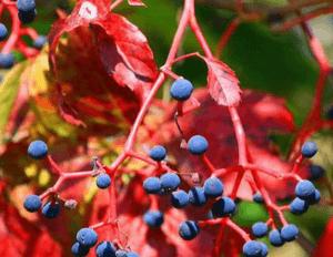 отравление у ребенка девичьим виноградом