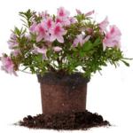 Цветок спатифиллум - ядовитый или нет для человек