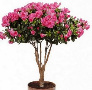азалия ядовитое растение