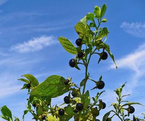 Белладонна - ядовитые растения