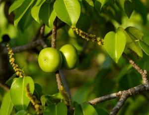 Манцинелла - ядовитый фрукт
