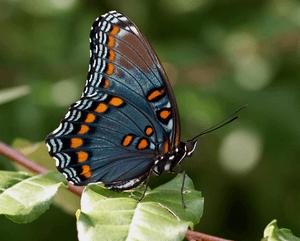 Ядовитые бабочки - список