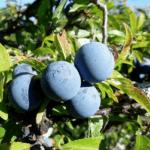 Волчьи ягоды - интоксикация у детей и взрослых