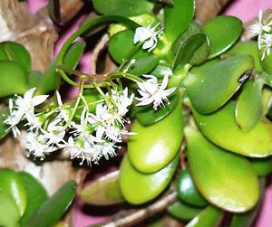 Как цветет диффенбахия