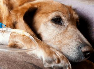 Отравление тубазидом у собак
