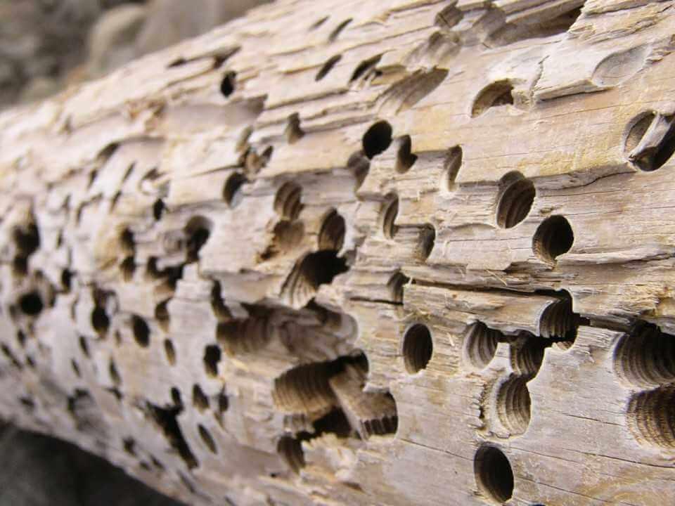 Как избавиться от короеда и древоточца в деревянных строениях