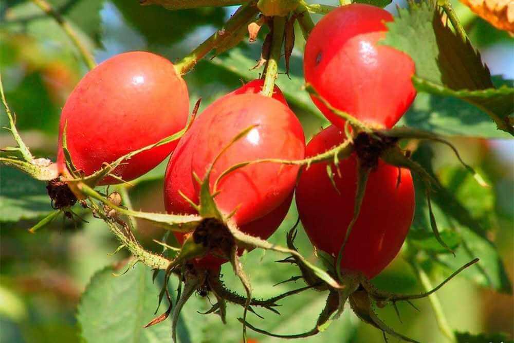 Плоды шиповника как хорошее средство против заболеваний печени и желчевыводящих путей