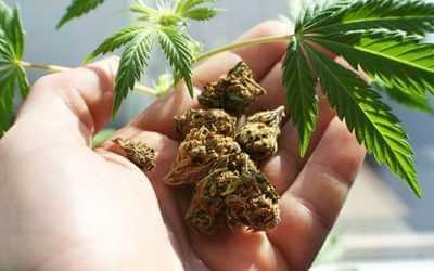 Влияние марихуаны: чем опасна марихуана, ее воздействие на организм человека, как курение влияет на мозг и к чему это приводит