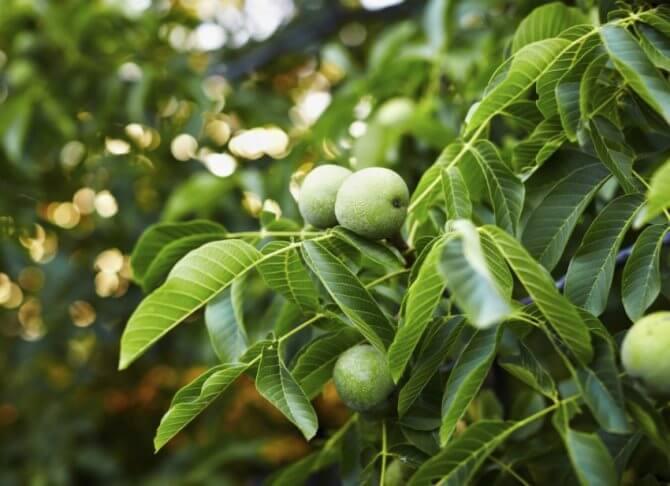 Листья грецкого ореха: чем полезны, как применять, противопоказания