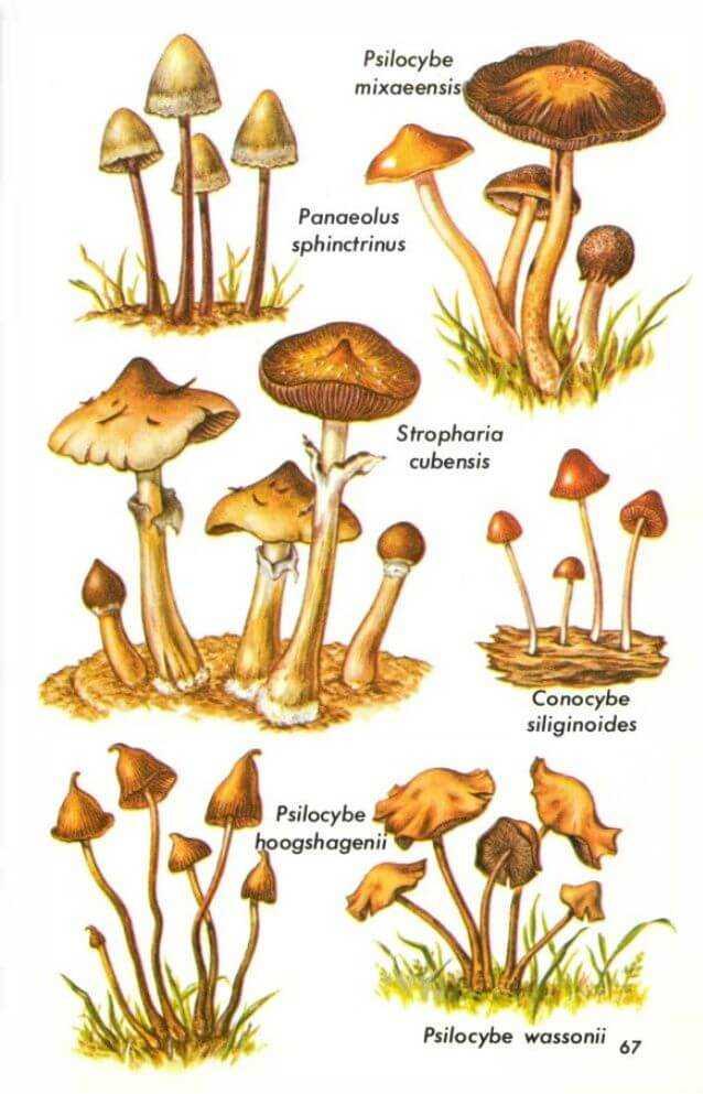 Галлюциногенные грибы: последствия употребления